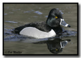 The Ring-neck Duck Gallery