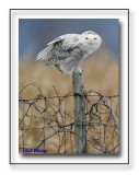 Snowy Owl With A Leg Up On Things