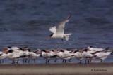 Elegant Terns from 1997