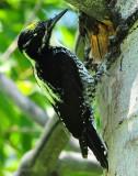 Woodpecker, Three-toed