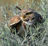 Owl, Burrowing --AIC 6/29/08