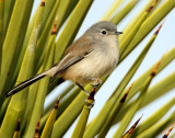 Gnatcatcher, Black-tailed