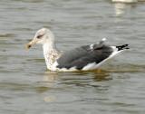 Gull, Lesser Black-backed #2