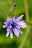 Französischer Milchlattich (Cicerbita plumieri)