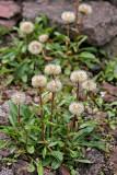 Kapaster (Felicia uliginosa Grau)