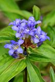Kreuz-Enzian (Gentiana cruciata L.)