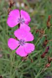 Pfauen-Nelke (Dianthus pavonius )