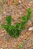 Tannen-Teufelsklaue (Huperzia selago L.)