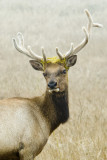 Tule Elk 4