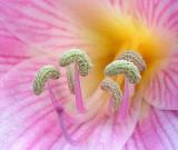 Amaryllis Belladonna Lily