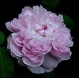 Roses Older Than I Am...