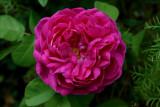 David Austin English  Roses II