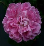 Paul Neyron ....Older bloom......Bred in France 1869 by Antoine Levet