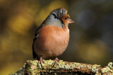 Chaffinch (Male) Barnwell Country Park, Oundle. UK