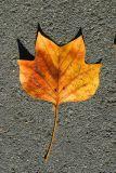 ex brown orange leaf on grey pavement mod.jpg