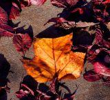 ex gold leaf amongst red ones on concrete mod.jpg.jpg