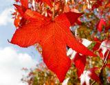 ex red leaf mod.jpg