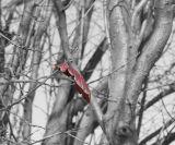 ex last leaf red on bw mod .jpg