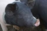 Pig Scramble Star