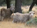 Untamed Angora Goats