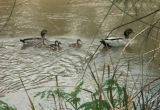 Four small ducks with escort