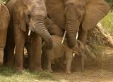 Samburu Elephants threatened.jpg