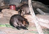 23_beavers-with_flash.JPG