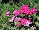 zeiss01_roses.JPG