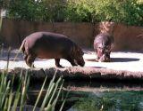 zeiss06_hippos.jpg