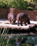 zeiss07_hippos.jpg
