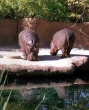 zeiss08_hippos.jpg