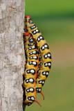 Spurge Hawk-moth - רפרף חלבלוב - Hyles euphorbiae