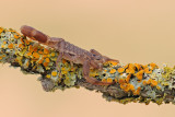 Scorpion - חד-צלע מגובשש - Compsobuthus werneri