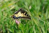 Old World Swallowtail - זנב-סנונית - Papilio machaon