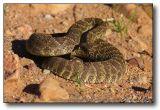Rattle Snake : Western Diamondback