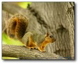 Squirrel : The stereotypical Rodent