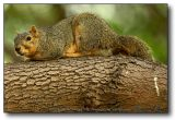 Squirrel : Hunkered Down