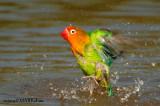 Fischer's lovebird ( Agapornix fischeri)