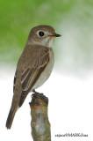 Asian Brown Flycatcher ( Muscicapa dauurica )