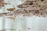 Pintail Snipe (Gallinago stenura)