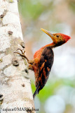 Orange-backed Woodpecker ( Reinwardtipicus validus)
