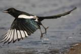 European Magpie (Pica pica)