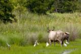 Cattle Egrets _DSC24530 8x12dpi300_resize.jpg