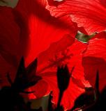 red glory .jpg
