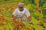 Tobacco harvest in Kentucky