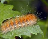 Virginian Tiger Moth Caterpillar