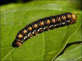 Gold Moth Caterpillar