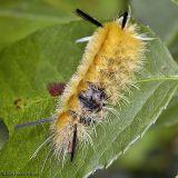 Banded Tussock Moth Caterpillar
