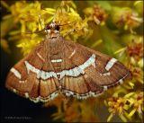 Hawaiian Beet Webworm Moth