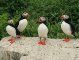 A bunch of puffins just hangin' out.